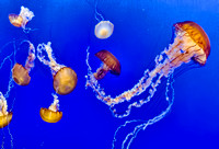 abs164-Jellyfish-3-IMG_0445