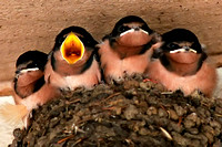 a2-Baby-Swallows